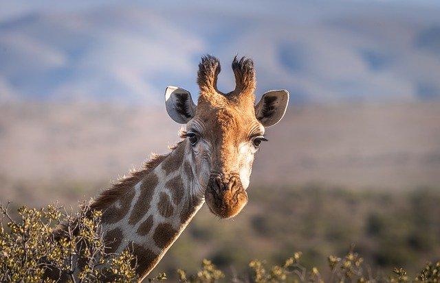 Žirafa s dlhým krkom.jpg